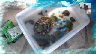Чем кормят маленькую красноухую черепаху в домашних условиях 132