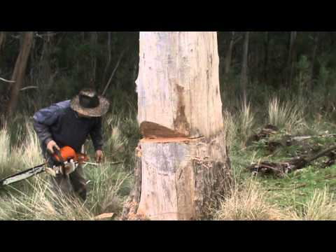 Big Tree Gets Cut Down With A Chainsaw video