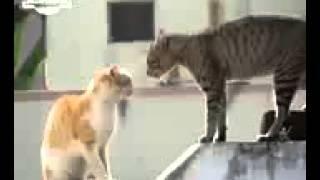 video kucing lucu banget bahasa jawa 2015