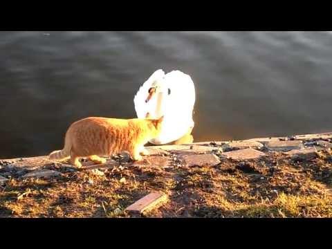 кот и лебедь! Cat and the swan! #inHolland