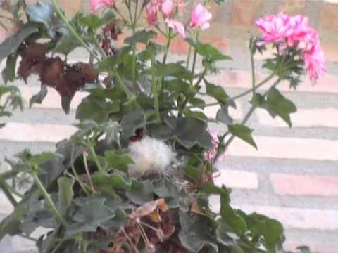 Nido de Jilgueros colgado de una rama de Geranio en el balcon de mi Vecina