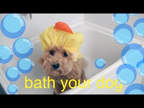 Bath your Toy Poodle DIY Dog Hygiene/Groom a tutorial by Cooking For Dogs