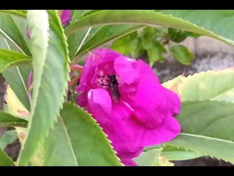 Kelulut Spesis Heterotrigona Itama Di Bunga Keembong   Impatiens Balsamina   Garden Balsam