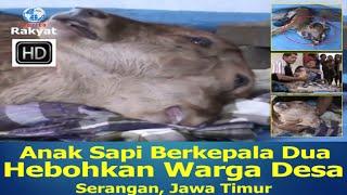 Anak Sapi Berkepala dua, Hebohkan Warga Desa Serangan Jawa T... view on break.com tube online.