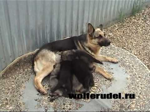 Wolferudel. Puppies. A-litter
