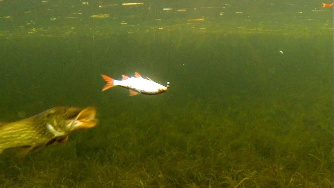как клюет щука под водой