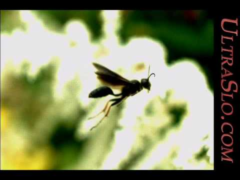 Wasp in UltraSlo macro 5000FPS