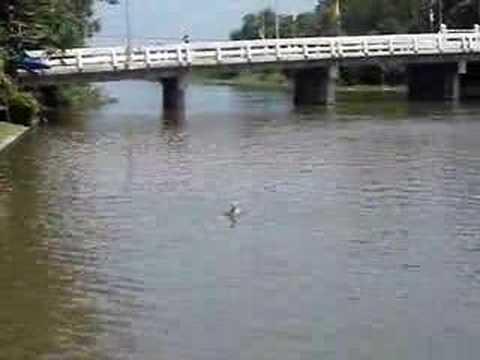 RC Decoy Duck in Thailand