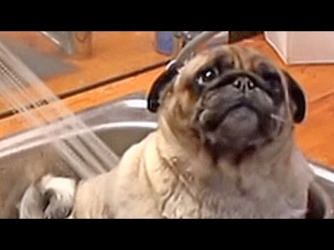 Hao123-Barry the Pug in the tub.