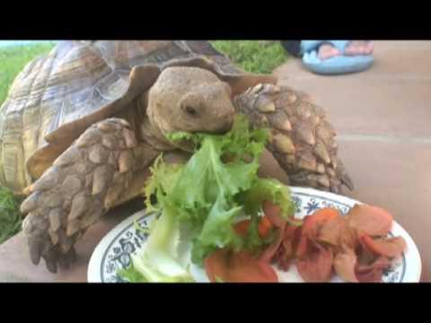 Sulcata Tortoise Eating Smorgasbord - YouTube