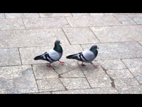Pigeons - What is love