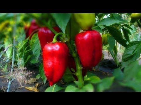 Как часто и сколько поливать перец? Все о поливе перцев!
