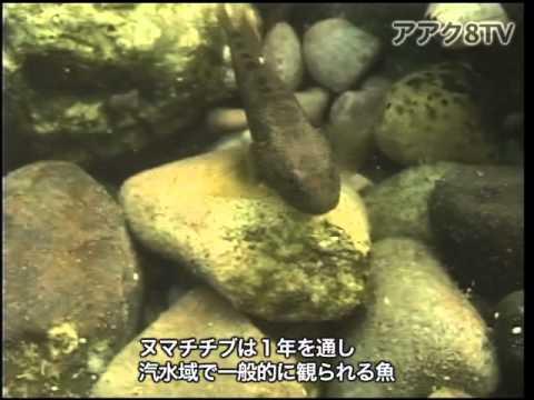 アアク8TV水中映像 ×Goovie 岐阜県の魚類22 汽水域の魚