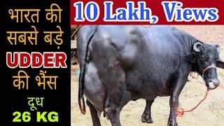 World Biggest Udder Buffalo -2 with 26 kg milk Capacity at Amritsar (PUNJAB)