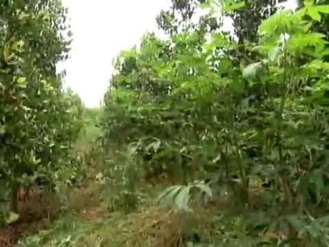 Globo Rural 11/09/2011 - Guanandi a Madeira de lei