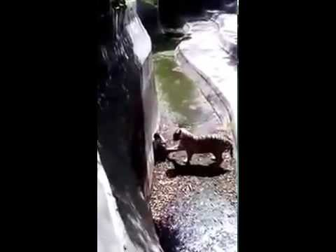 NEW VIDEO DELHI ZOO ATTACK INDIAN WHITE TIGER  RAHUL SHARMA 25 9 2014 FULL
