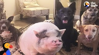Pig Is Smarter Than His Dog Siblings | The Dodo