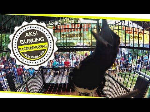 media download youtube burung kacer gacor