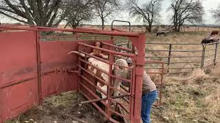 Pregnancy Testing Our Fall Longhorn Cattle