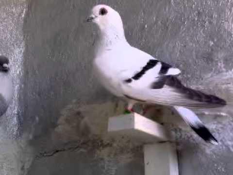 حمام علاء ابو زعل Music Videos