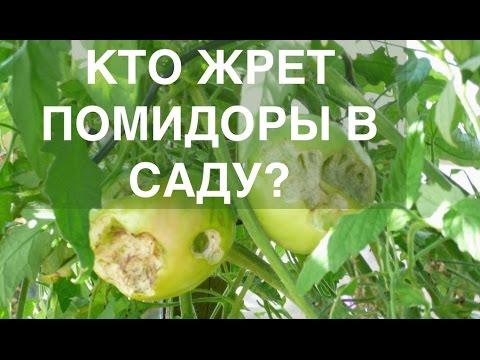 кто же ночью жрет мои помидоры? съемка скрытой камерой...