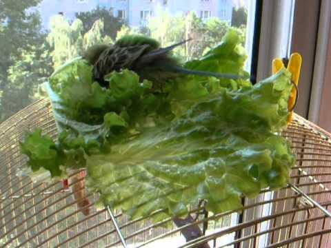 Салат для волнистых попугаев