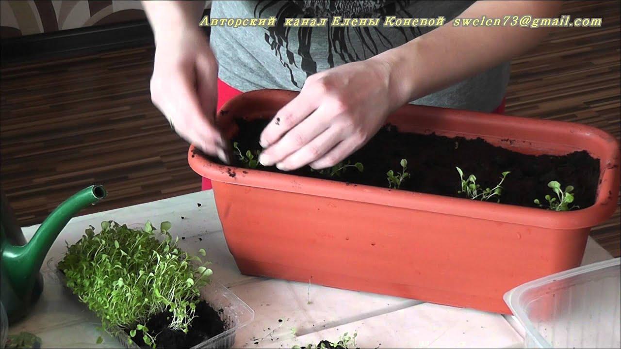 Посев цинерарии на рассаду 91