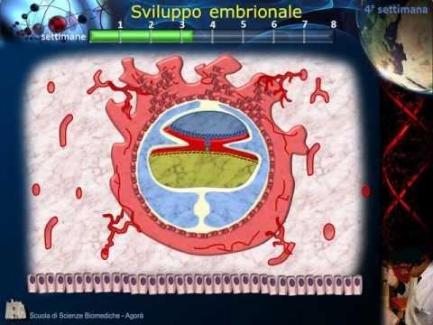 Embriologia - Lezione 2: Morula; Blastula; Impianto; Gastrula e ripiegamento