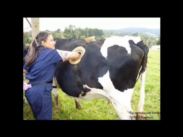 Farmers In Switzerland Are Making Giant Holes In The Stomach Of The Cows