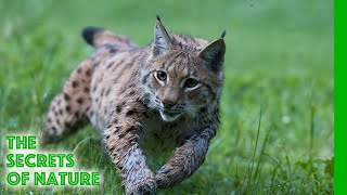 Link with the Lynx - The Secrets of Nature