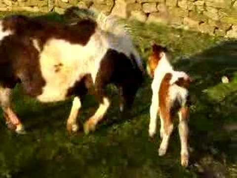 horses and ponies and foals. Miniature Horse Foals Playing