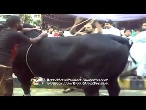 Cow Running Exclusive Video On Bakra Eid Qurbani 2012 video