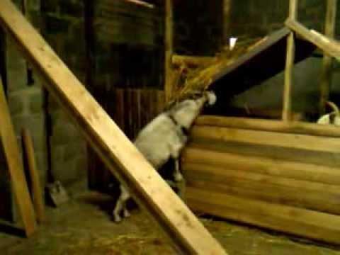 Разведение зааненских коз – уход и мои отзывы