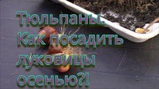 Тюльпаны.  Как посадить луковицы тюльпанов осенью!?