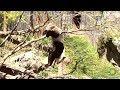 Watch Klutzy Panda Fall Out of Tree After Branch Breaks