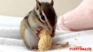 Cute Animal ☆ Chipmunk eating Peanuts