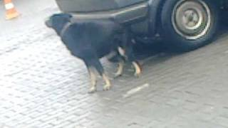 Смешная собака чешит зад об машину :)