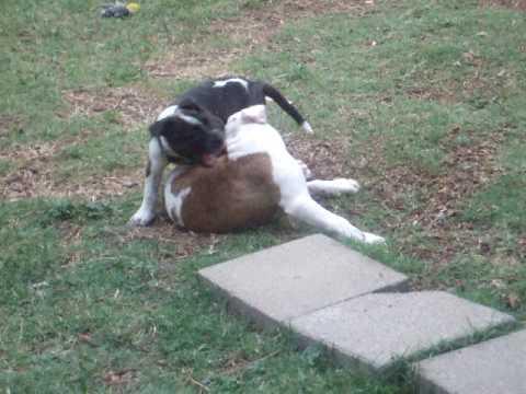 tibetan mastiff vs pitbull