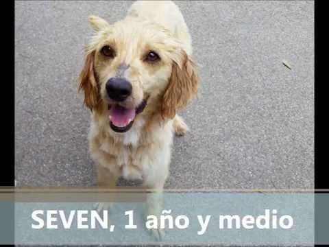 ProGolden: Seven (en adopción!)