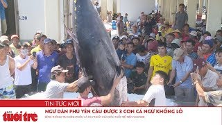 Ngư dân Phú Yên câu được 3 con cá ngừ khổng lồ