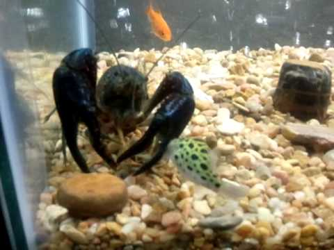 Scorpion VS Crayfish VS Puffer Fish - YouTube