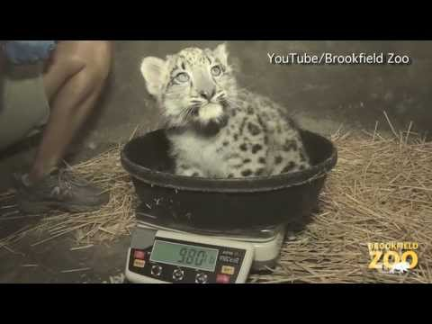 Baby Snow Leopard Makes Its Digital Debut