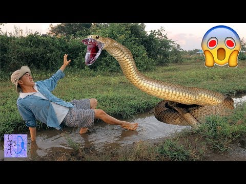 Bắt Trăn Khổng Lồ Bằng Tay Ở Ruộng Suýt Bị Nó Nuốt Vào Bụng .Catch Big Python By Hand