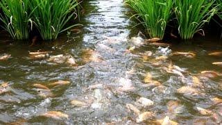 Download Lagu Panen Padi Dan Ikan Sistem Mina Padi Gratis STAFABAND