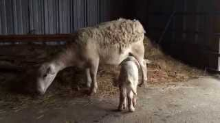 Surprise! New lamb born this afternoon. In pouring rain and 35 degree temperatures.