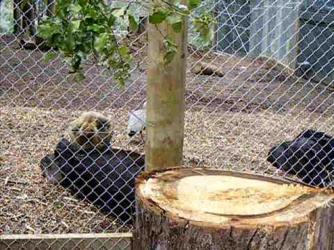 Spider monkey grooms tapir, Hamilton Zoo