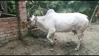 Download Eid Ul Adha 2016, Cow Purchase INR 60,000/-, Kolkata, West Bengal, India 3Gp Mp4