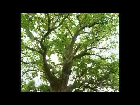"""И.С.Тургенев - """"Мои деревья"""""""