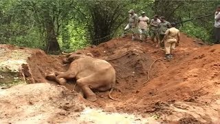 (18.1 MB) Elephant rescued from trap : a success story from India Mp3