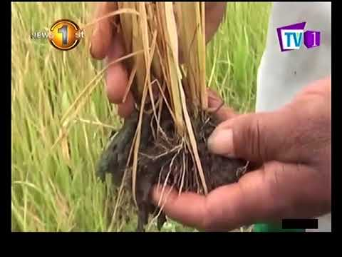 paddy fields destroy|eng